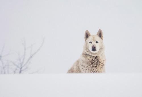 sobaka-pes-morda-zima-sneg500