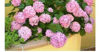 mie ortensie rosa