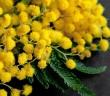 mimoza-vesna-buket-8-marta