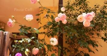 Rose rosa F