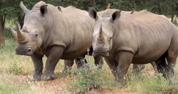 rinoceronte bianco sud africa  76