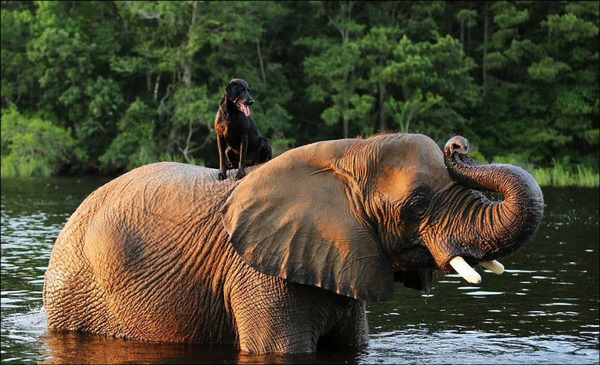 Un elefante ed un cane (4)