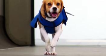 Sherlock beagle