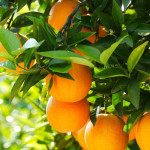 priroda-apelsiny-derevo 800