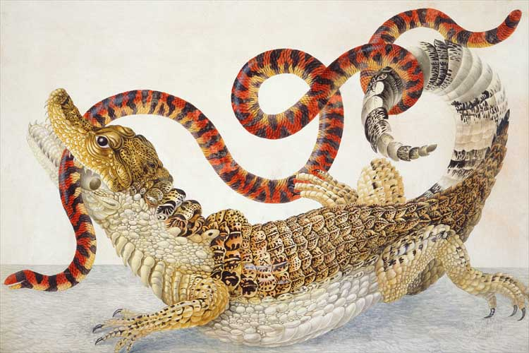 Illustration_of_a_Caiman_crocodilus_and_an_Anilius_scytale_(1701–1705)_by_Maria_Sibylla_Merian