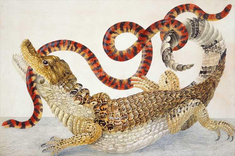 Illustration_of_a_Caiman_crocodilus_and_an_Anilius_scytale_(1701–1705)_by_Maria_Sibylla_Merian