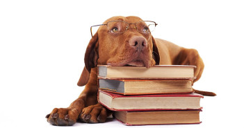 eyewear wearing golden color pure breed dog laying on floor resting head on a pile of books