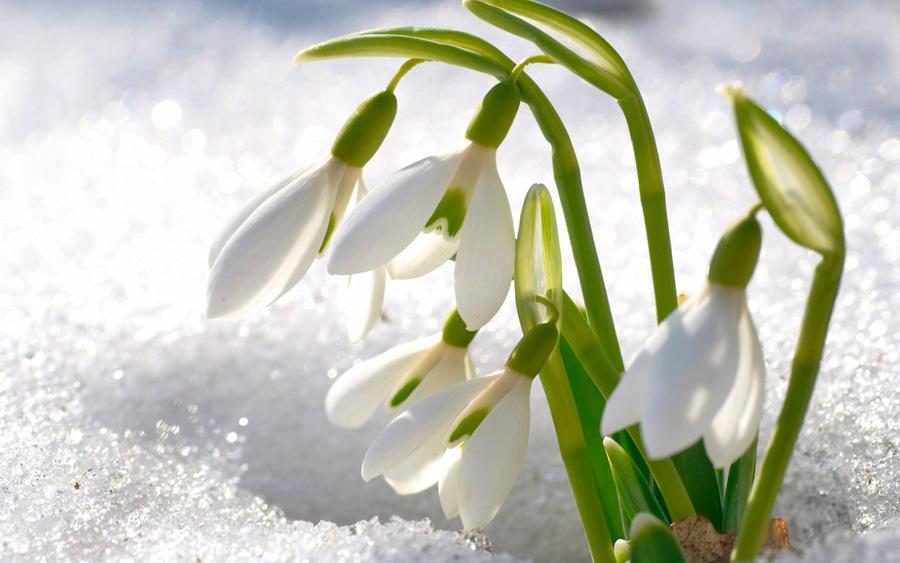 podsnezhniki-cvety-sneg900