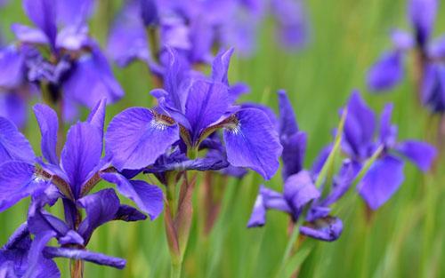 Iris campo