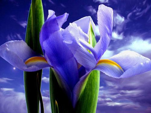 Iris cielo