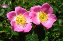 01 Rosa canina