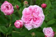01 rose galliche