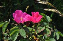 03 rosa villosa