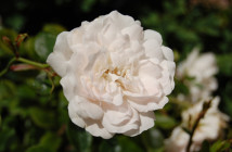 03 rose alba