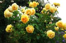 03 rose floribunde