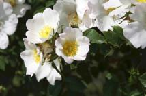 04 Rosa arvensis