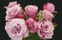 04 rose Portland