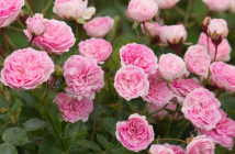 04 rose polyantha