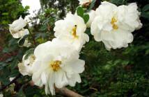 05 rosa pimpinellifolia
