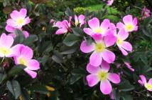 06 rosa glauca