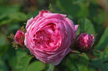 06 rose muscosa