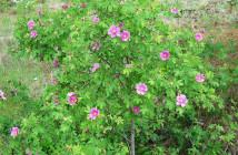 11 rosa acicularis