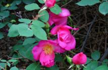 14 rosa nutkana