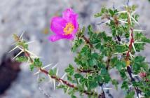 15 Rosa stellata