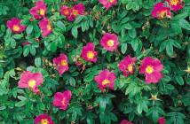 16 rosa virginiana