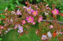 20 rosa elegantula