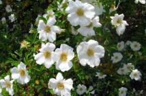 22 rosa laevigata