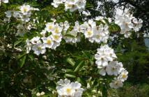 23 rosa longicuspis