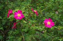 24 rosa prattii