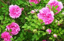25 rosa roxburghii