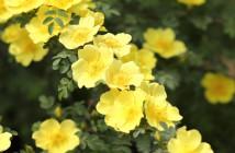 26  rosa xanthina