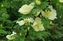 27 rosa Cantabrigiensis