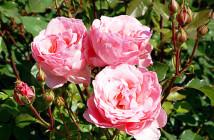 rose mazzetti