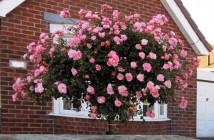 rose arbusto