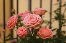 rose pausacaffè (1)