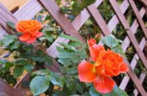 rose pausacaffè (10)