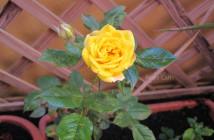 rose pausacaffè (11)