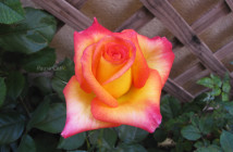 rose pausacaffè (12)