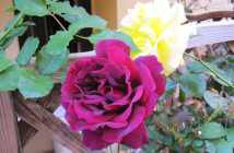 rose pausacaffè (13)