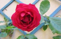 rose pausacaffè (14)