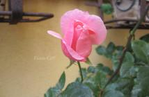 rose pausacaffè (15)