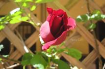 rose pausacaffè (17)
