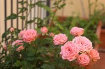 rose pausacaffè (2)
