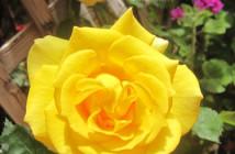 rose pausacaffè (20)