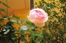 rose pausacaffè (23)