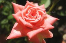 rose pausacaffè (24)